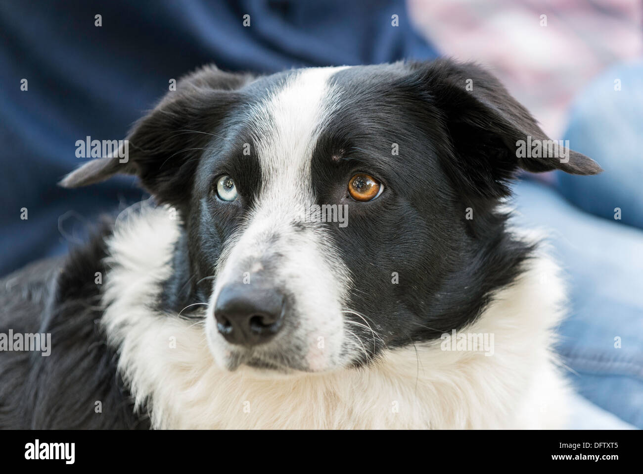 border collie sheep dog with one blue eye and one brown
