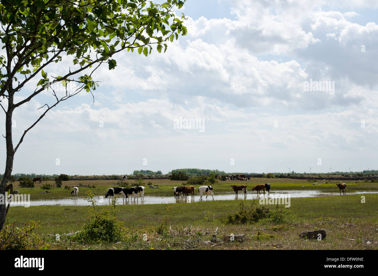 Cattle in water - Stock Image