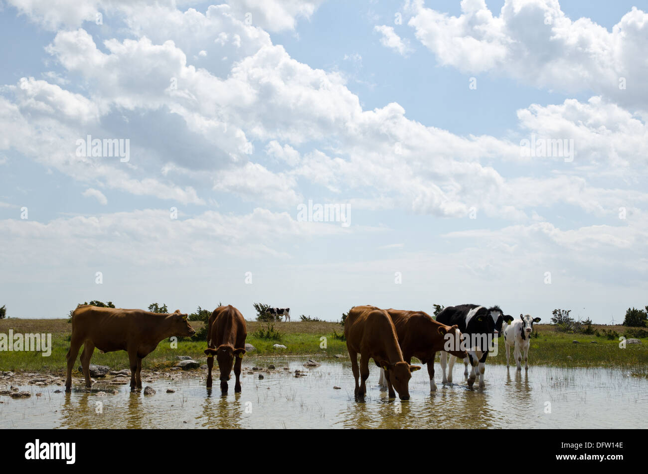 Cattle at water hole - Stock Image