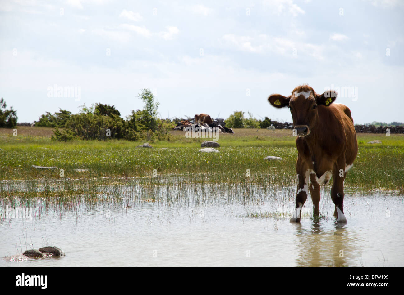 Thirsty young cow - Stock Image