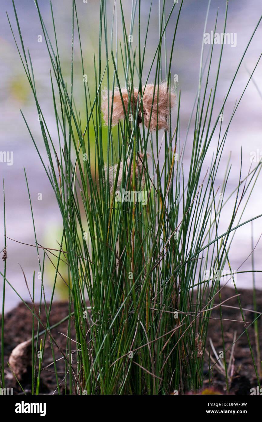 Red Cottongrass Eriophorum russelianum in marshland Stock Photo