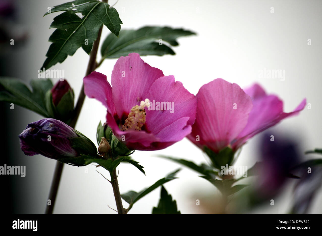Hibiscus Is A Perennial Shrub With Flowers Pink Also Called Chinese