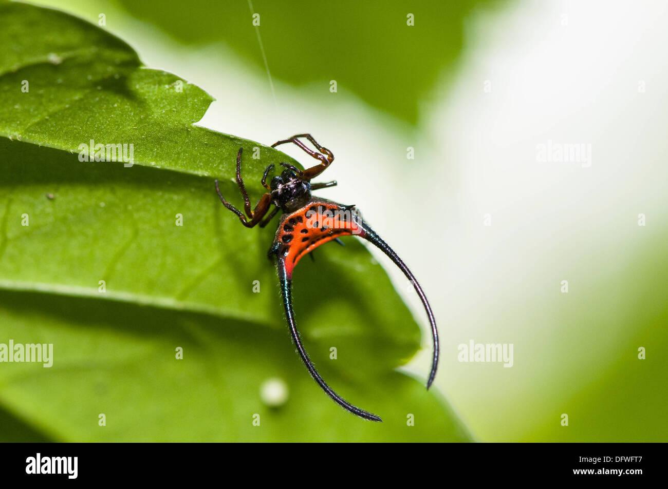 Curved spiny spider Gasteracantha arcuata Poring rainforest Sabah Borneo Malaysia - Stock Image