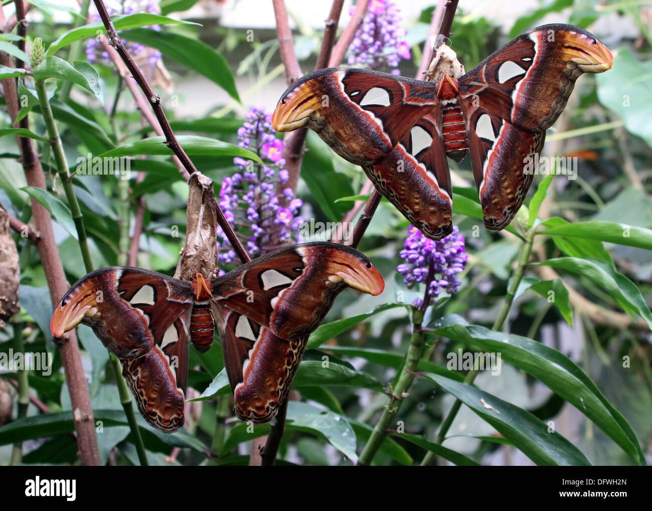 Two giant Atlas moths (Attacus atlas) posing together - Stock Image