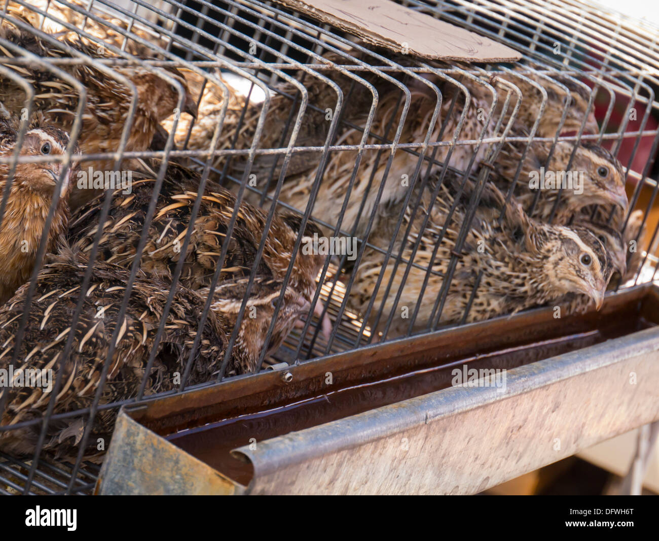 Portugal , Algarve , Loule market , small birds chicks grouse in cage for sale water trough - Stock Image