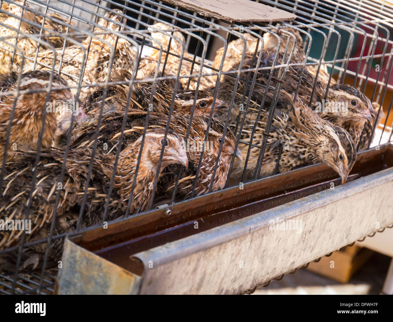 Portugal Algarve Loule market small live bird birds chick chicks grouse in cage for sale water trough food poultry Tetraoninae Phasianidae Galliformes - Stock Image