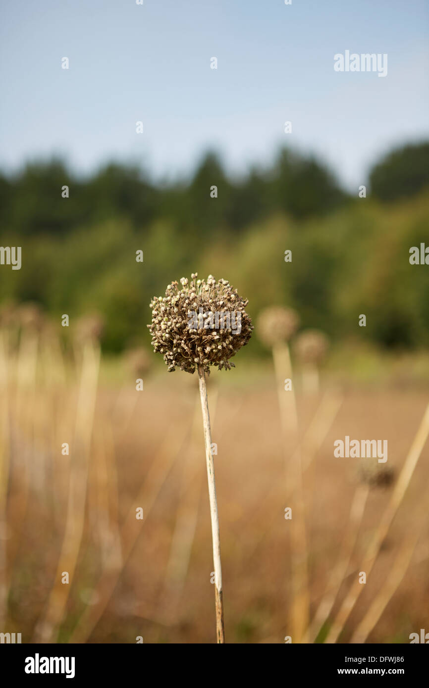 Elephant garlic seed head allium ampeloprasum - Stock Image