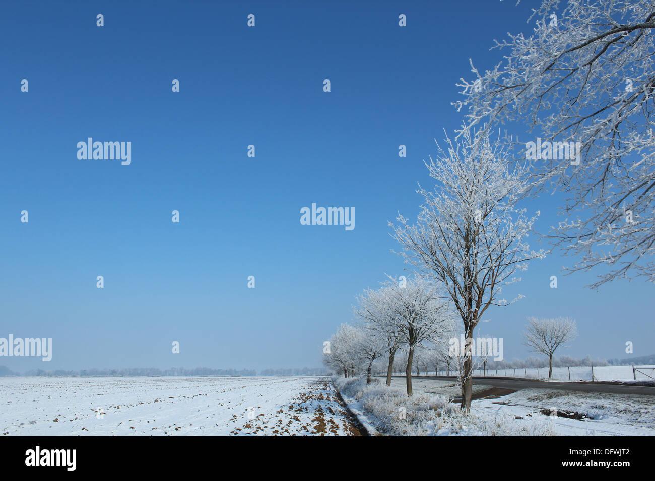 Winter scene vivid blue sky with white trees - Stock Image