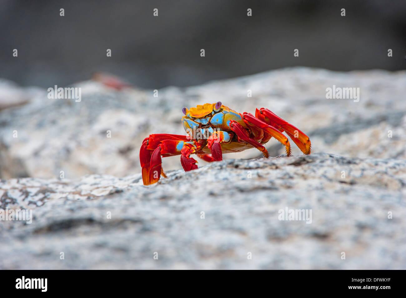 Sally Lightfoot crab (Grapsus grapsus), South Plaza Island, Galapagos, Ecuador - Stock Image