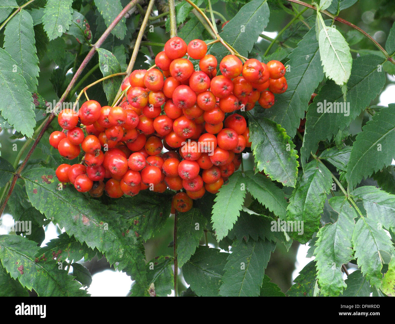 Red Berries On A Rowan Or Mountain Ash Tree Sorbus Aucuparia