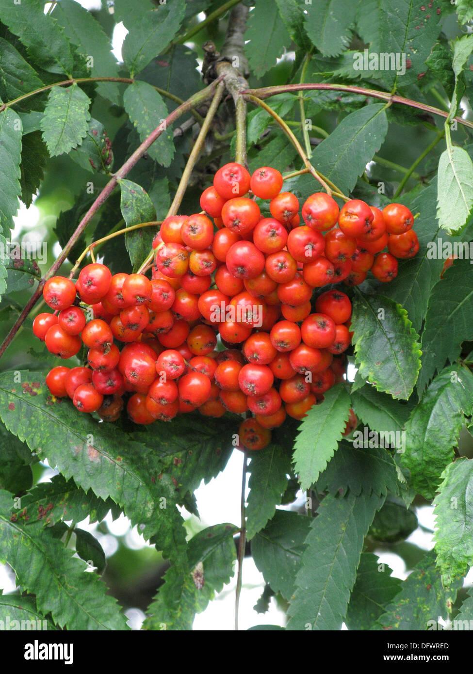 Red Berries on a Rowan or Mountain Ash Tree ( Sorbus ...