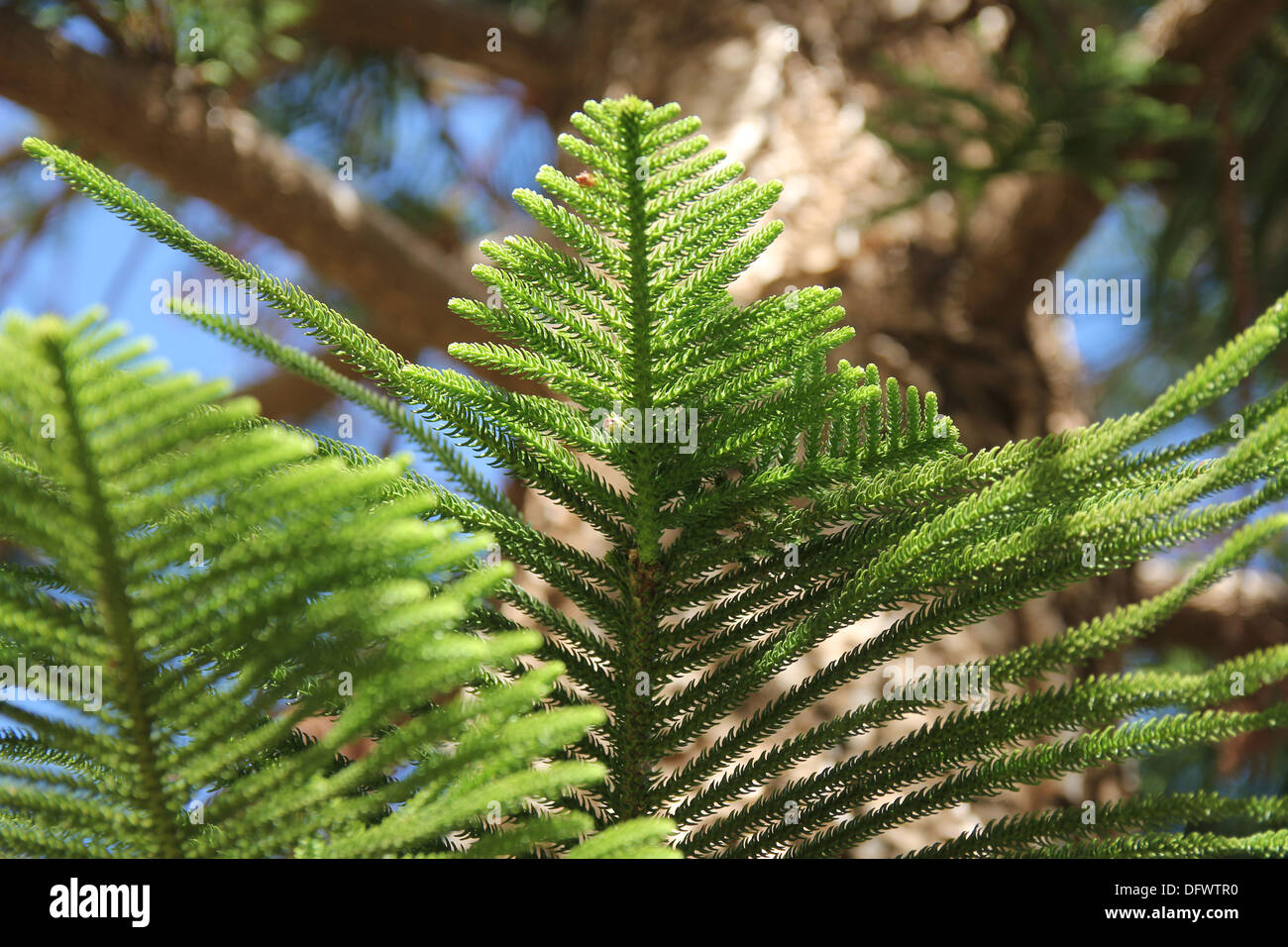 branches of green coniferous tree on a background of blue sky - Stock Image