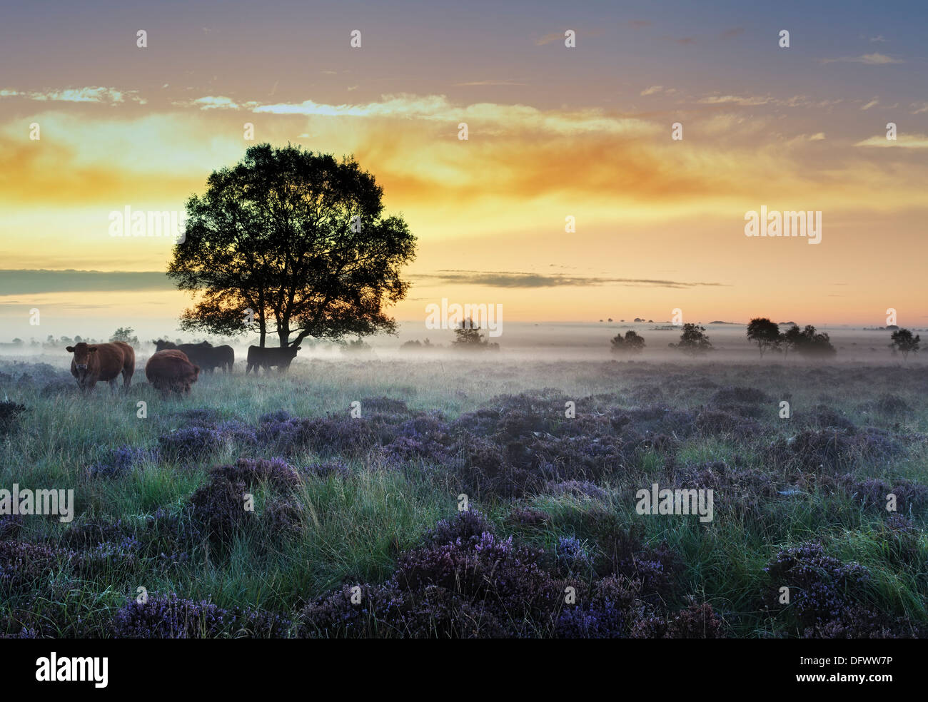 Beautiful sunrise over a field of late summer heather, the ground mist hangs heavy in the Peak District National Park Derbyshire - Stock Image