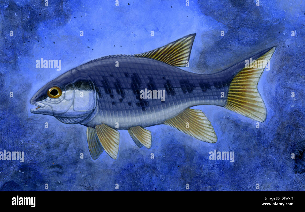 Semionotus (Flag-Back), an extinct genus of ray-finned fish. - Stock Image