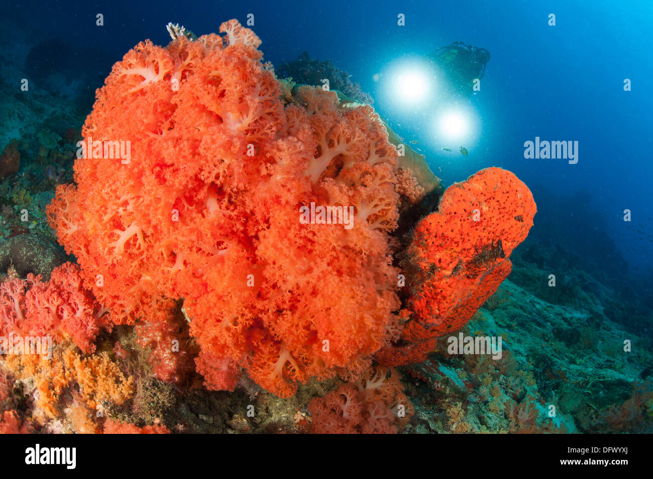 Colorful reefs in Raja Ampat covered in orange Dendronephthya soft corals, West Papua, Indonesia. Stock Photo