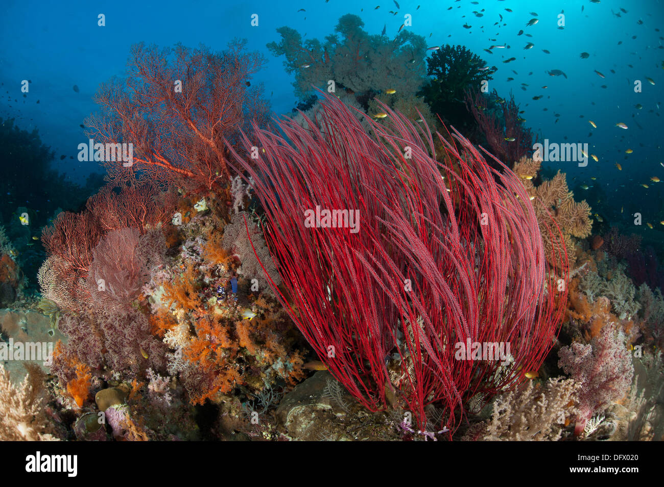 Reefscape with grand sea whip (Ellisella grandis) and gorgonian sea fans, Raja Ampat, Indonesia. - Stock Image