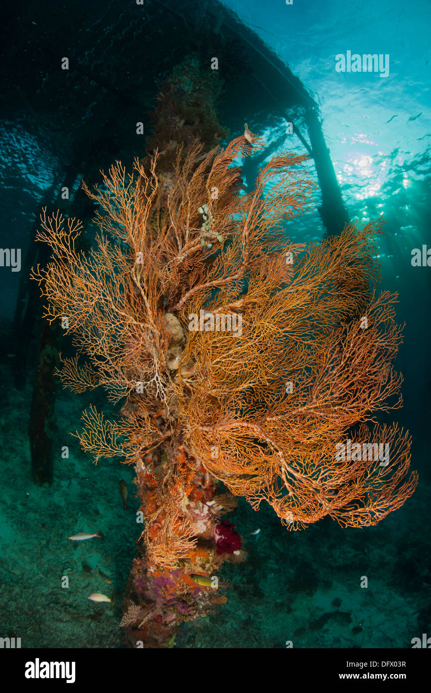 Gorgonian sea fan attached to a leg under Arborek Jetty, Dampier Strait, Raja Ampat, Indonesia. Stock Photo