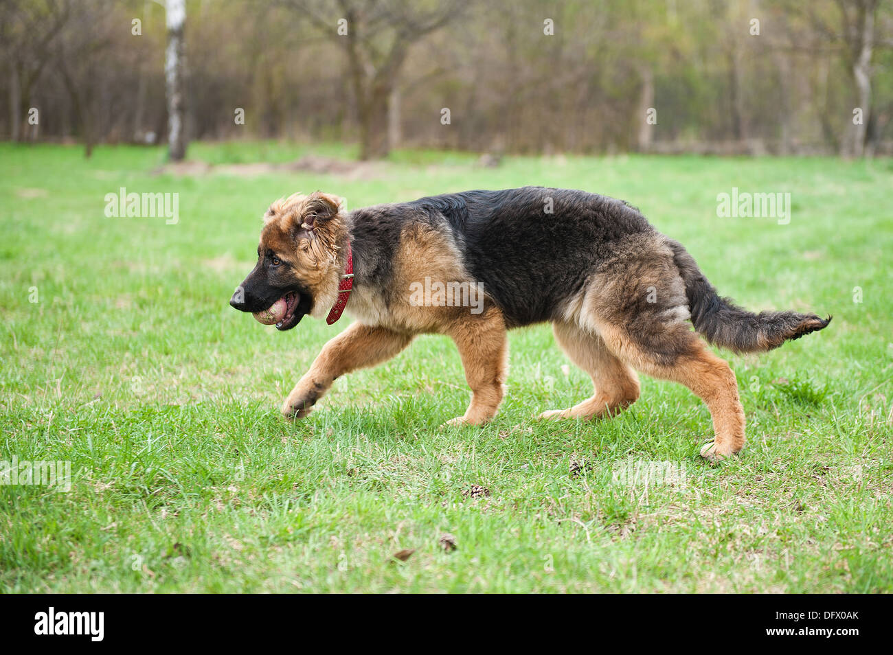 5-month-old German Shephard puppy playing with a ball - Stock Image