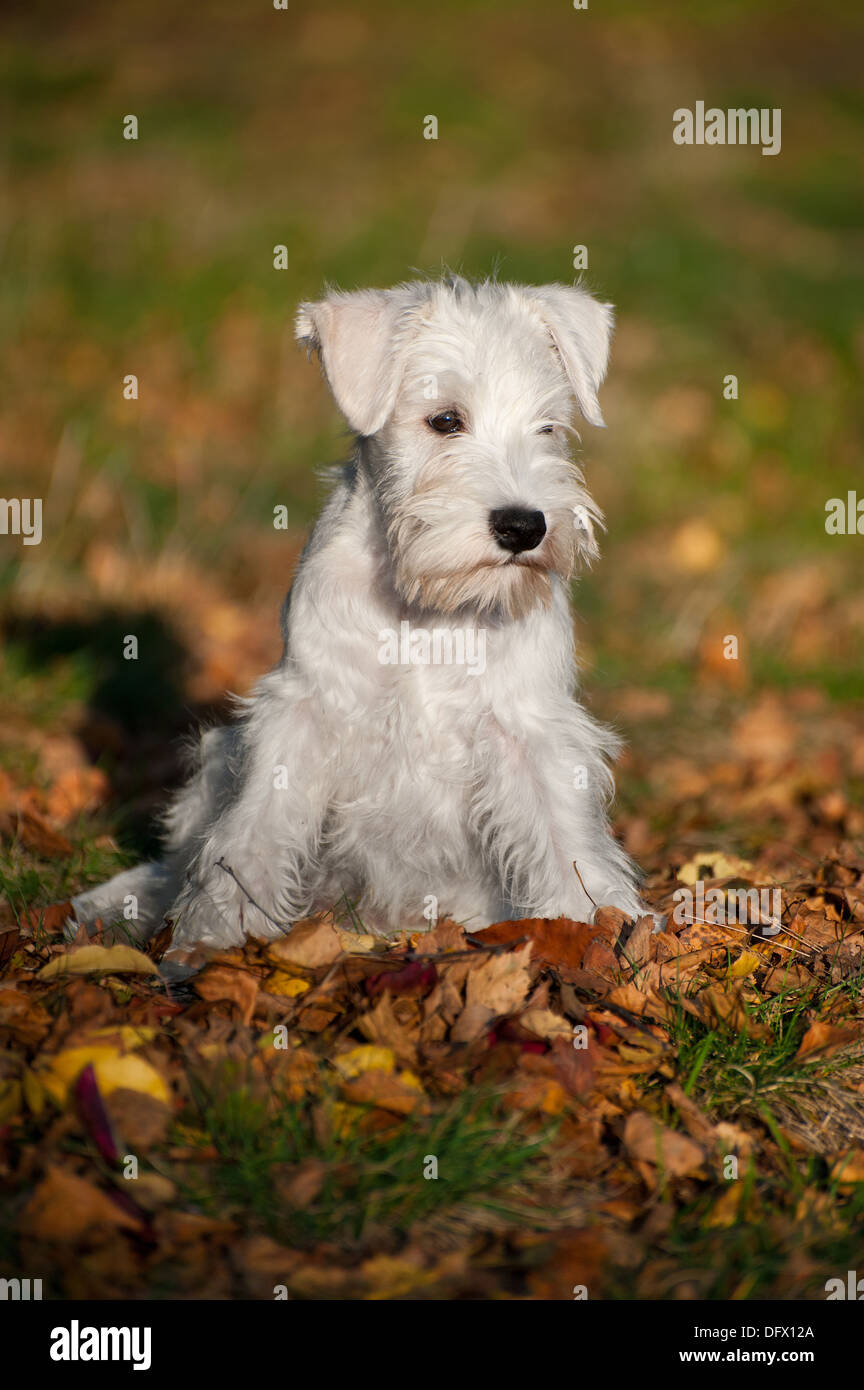 Miniature Schnauzer High Resolution Stock Photography And Images Alamy