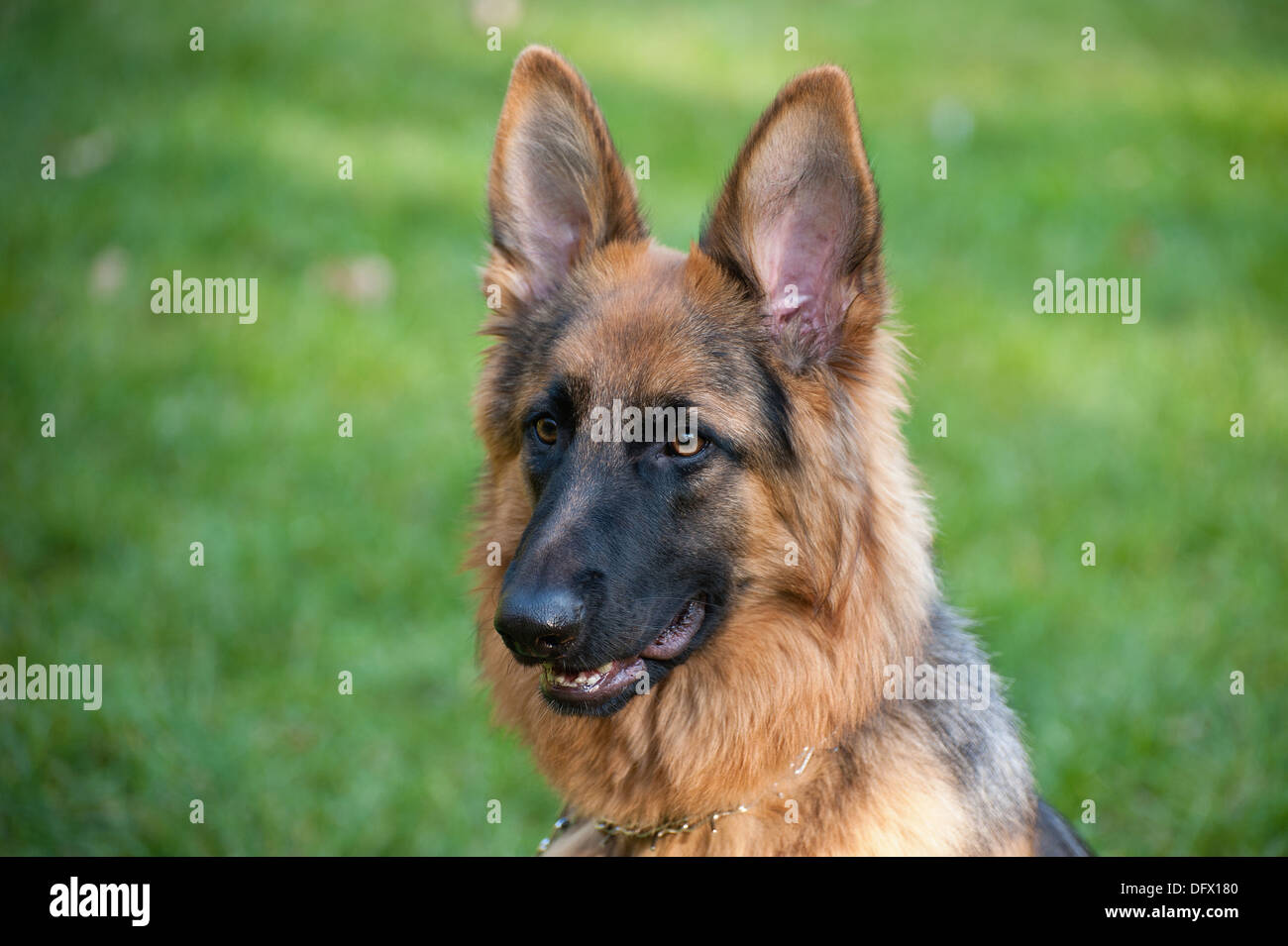 10-month-old German Shephard - Stock Image