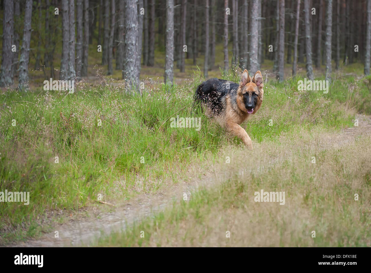6-month-old German Shephard puppy - Stock Image
