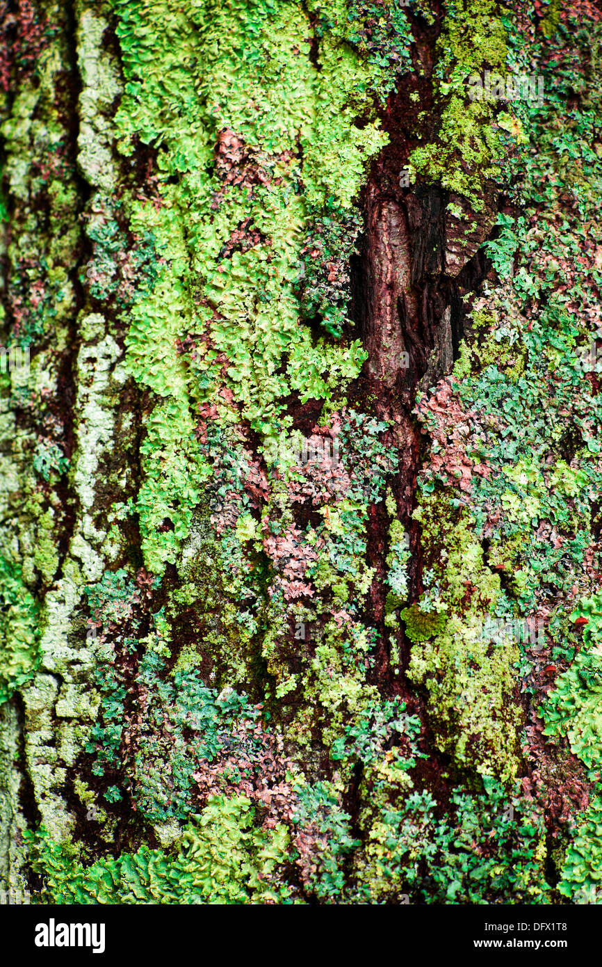Multicolored lichens growing on bark of tree trunk closeup Stock ...