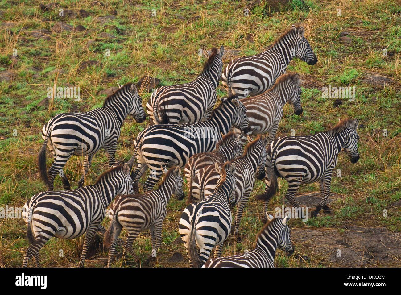 An aerial view of a herd of zebra on the move, Masai Mara National Reserve, Kenya - Stock Image