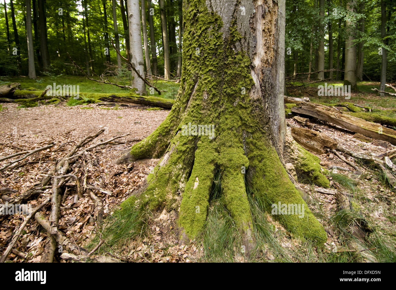 Primeval beech forest, Steigerwald, dead tree trunk, covered by mosses, Bavaria, Germany - Stock Image