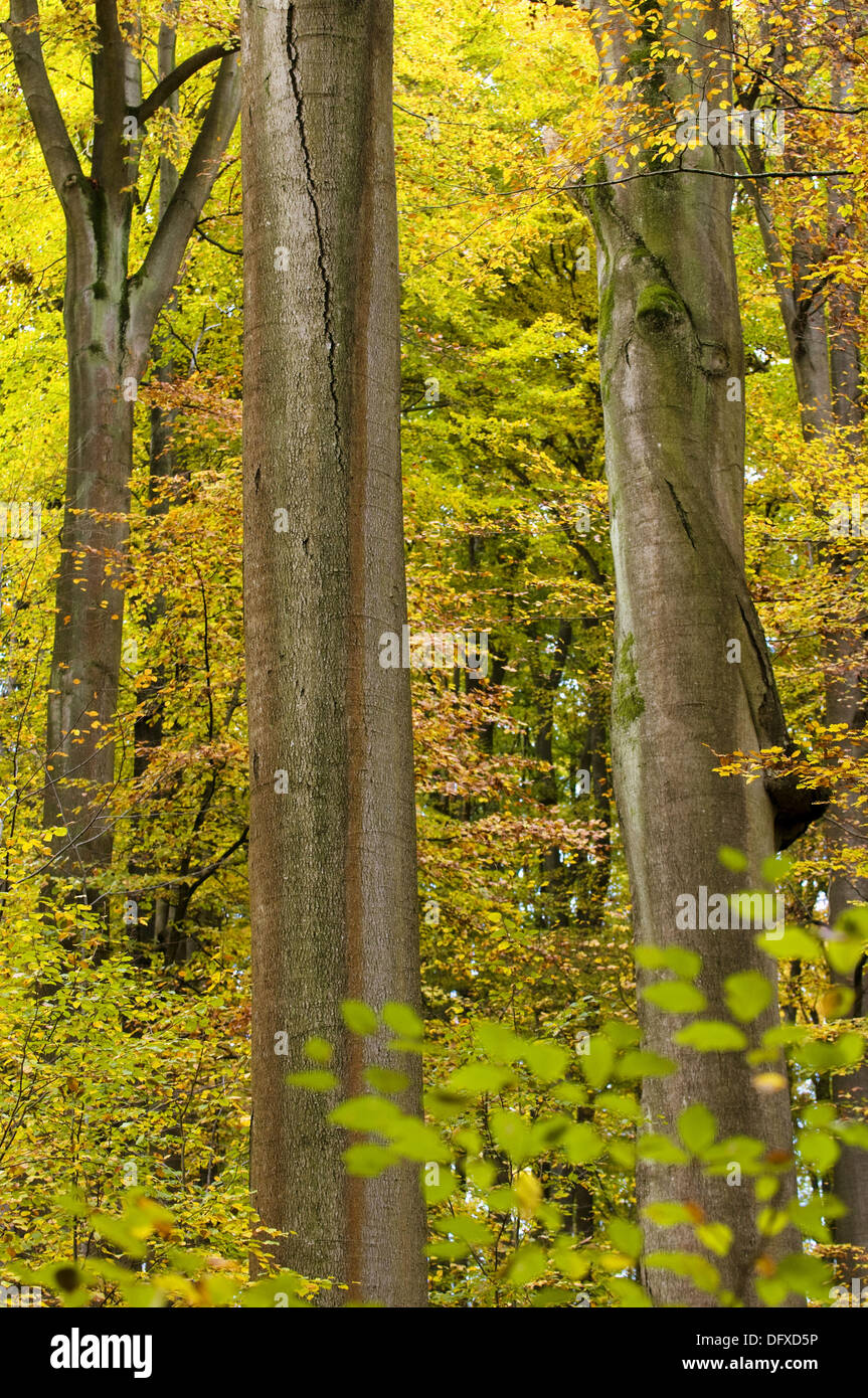 Primeval beech forest, trunks of a beeches, colours of autumn, Steigerwald, Bavaria, Germany Stock Photo