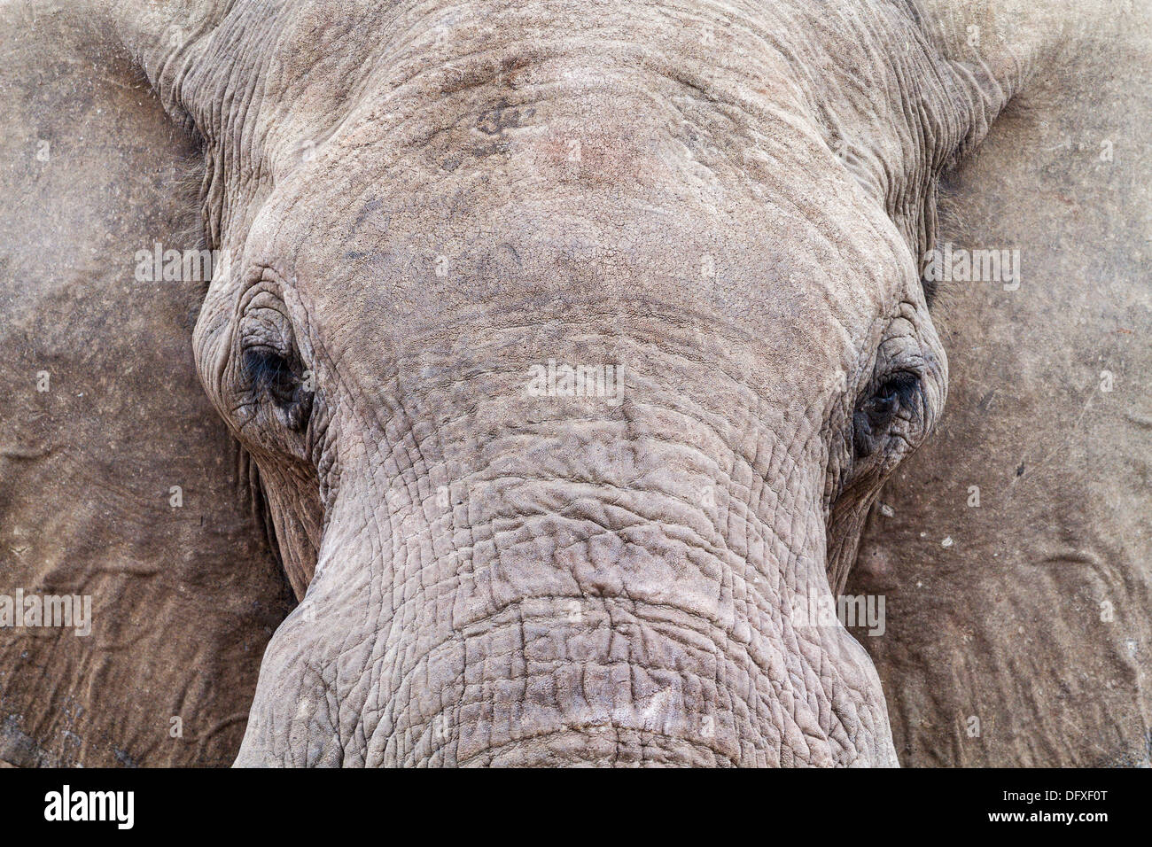 Close-up of an African Elephant (Loxodonta africana) drinking at a water hole, Botswana - Stock Image