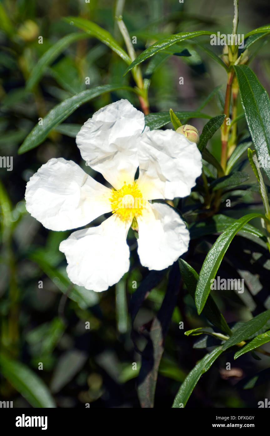 Shrub With Red Branches Smell Fragrant And Sticky With Large White
