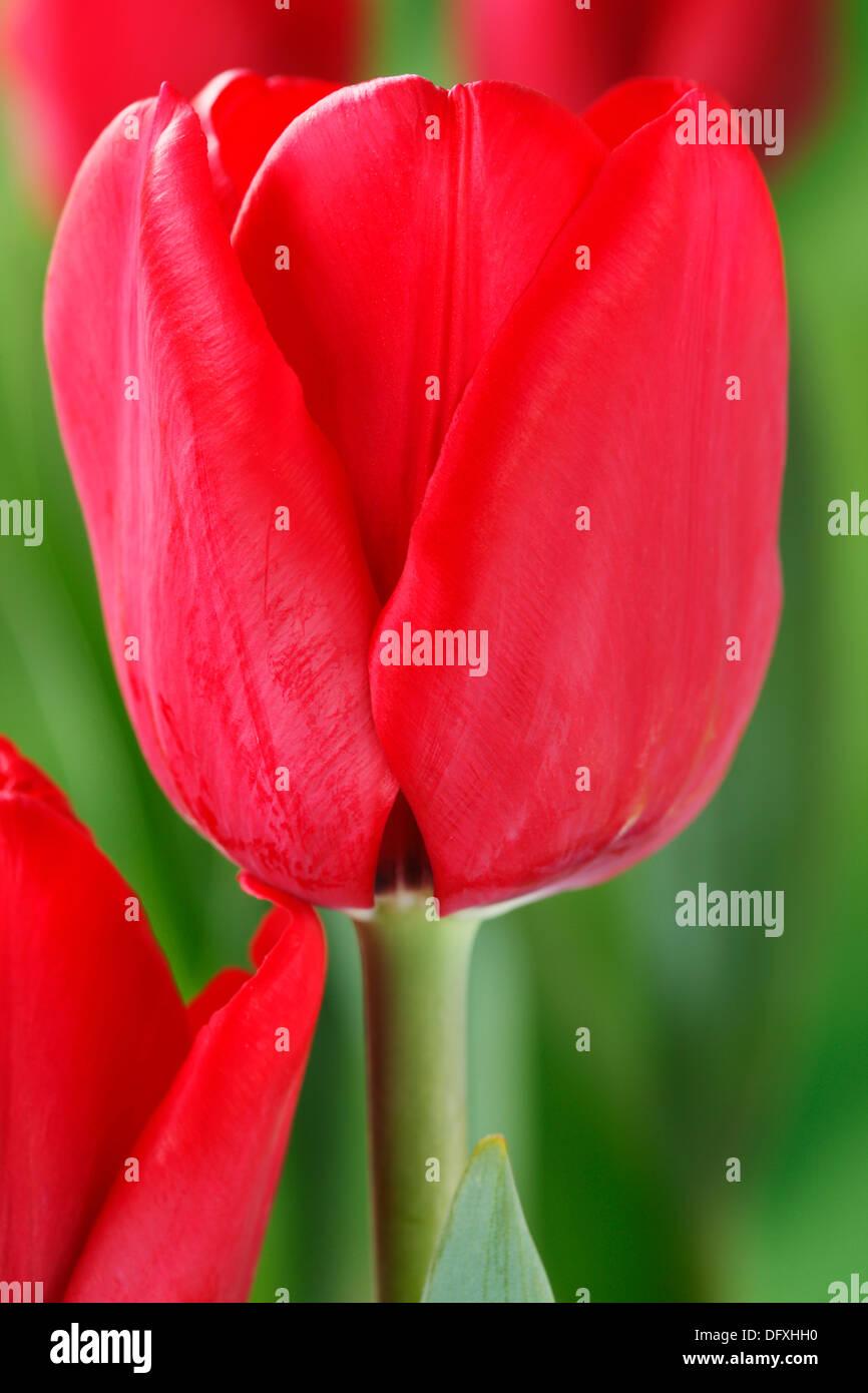 Tulipa 'Ile de France' Tulip Single Late Group April - Stock Image