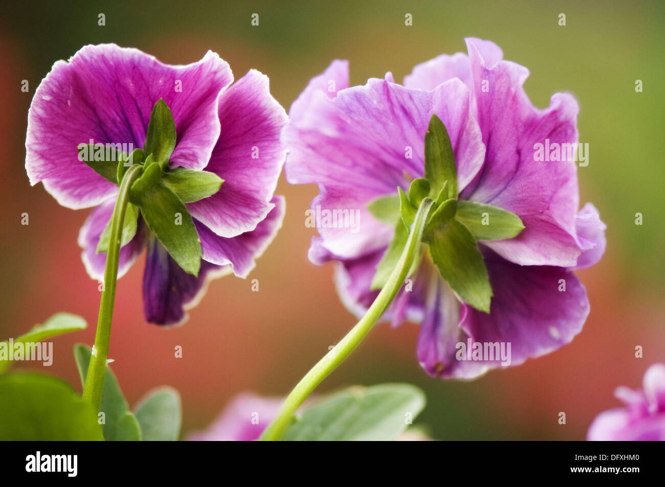 Two pink pansy flowers viola stock photos two pink pansy flowers two dark pink pansy flowers viola x wittrockiana stock image mightylinksfo