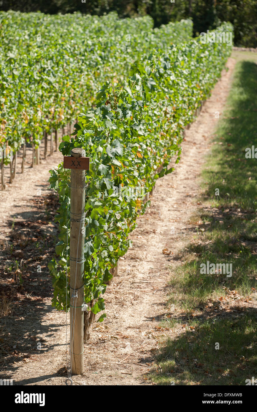 Wine Vineyard in Summer - Stock Image