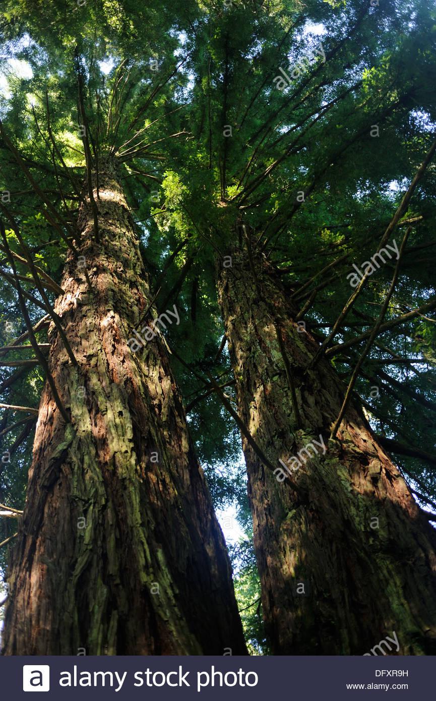Hogsback South Africa - Hogsback Arbotoreum - Californian Redwood (Sequoia sempervir..) - Stock Image