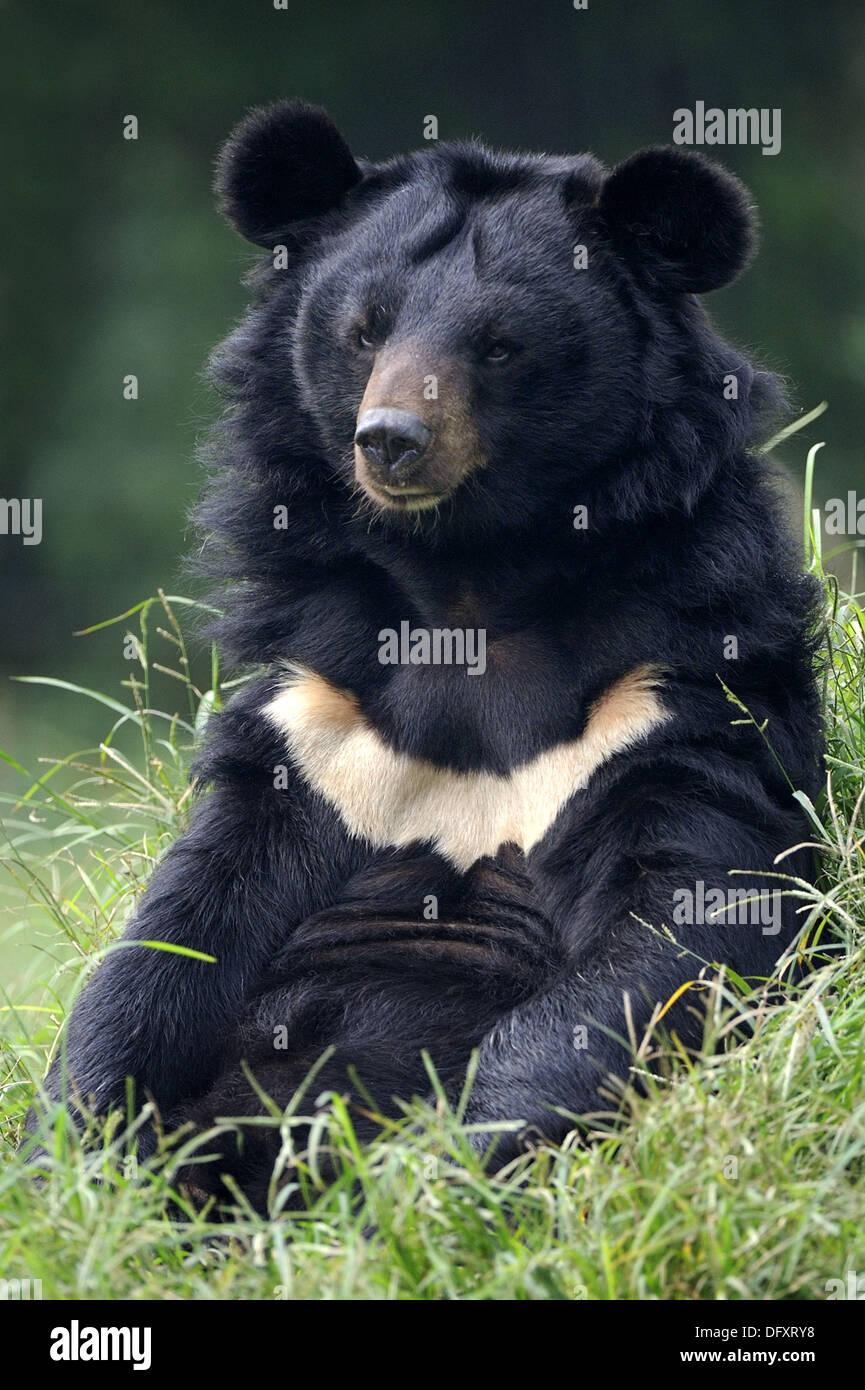 portrait of asiatic black bear ursus thibetanus at the chengdu