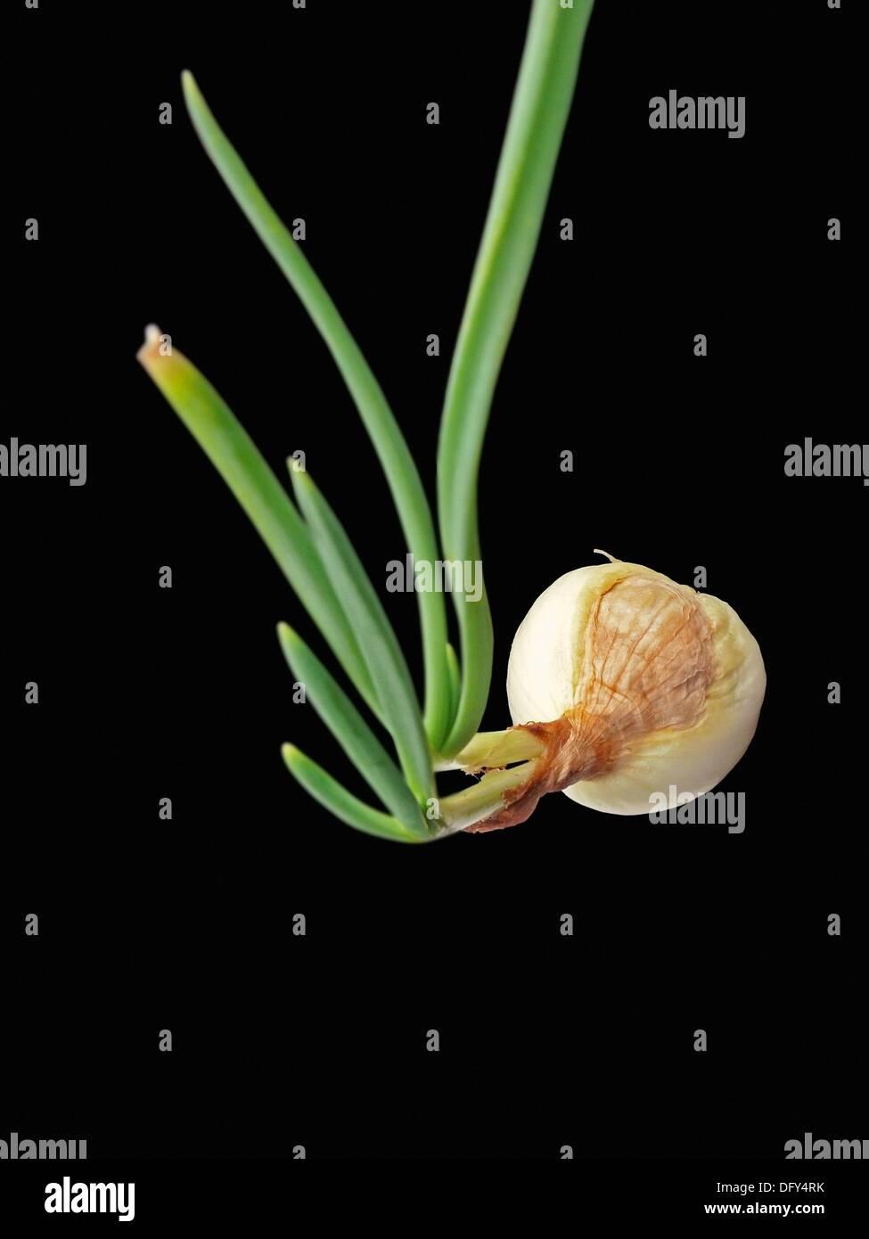 Onion leak, Allium cepa, Common vegetable - Stock Image