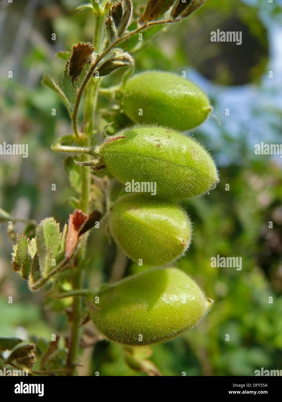 Kabuli Chana Plant Kabuli Chana St...