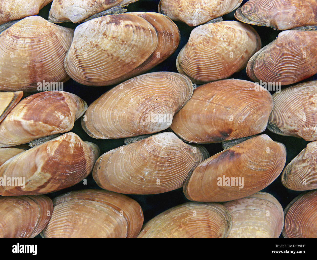 Clams, Class: Bivalvia, Representative mollusks. Bivalves have a shell with two halves. Filter feeders, they take Stock Photo
