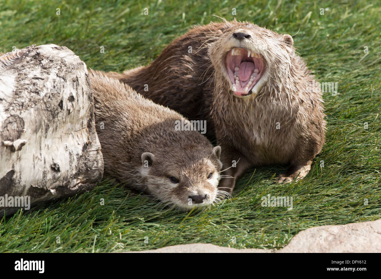 Five Sisters Zoo, Polbeth, Scotland - Oriental Small-Claw Otters - Stock Image