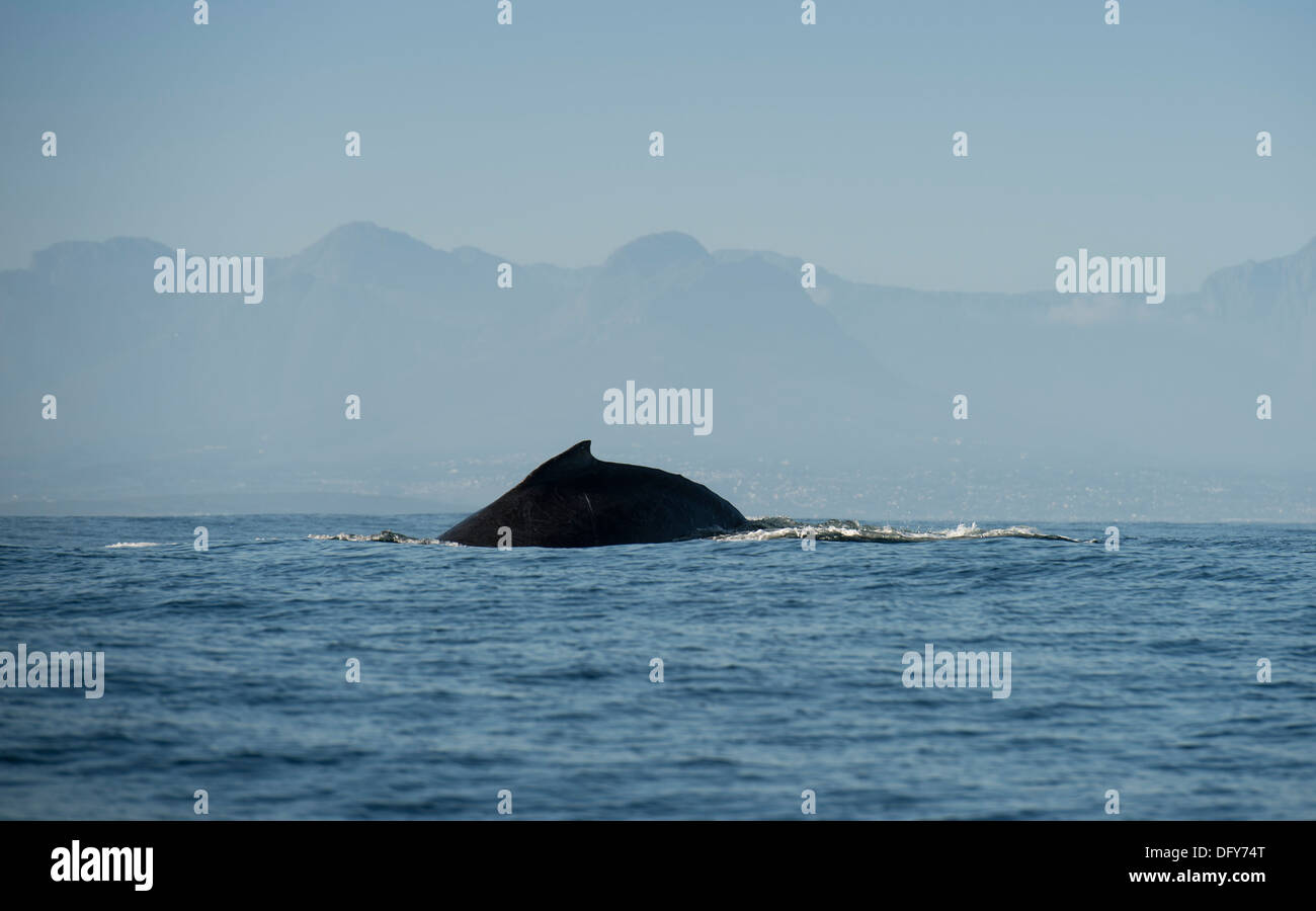 humpback whale logging in false bay, south africa - Stock Image