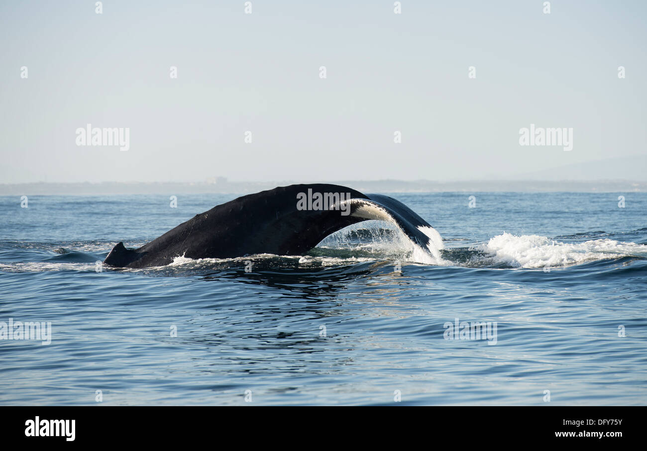 humpback whale logging, from profile, false bay south africa - Stock Image