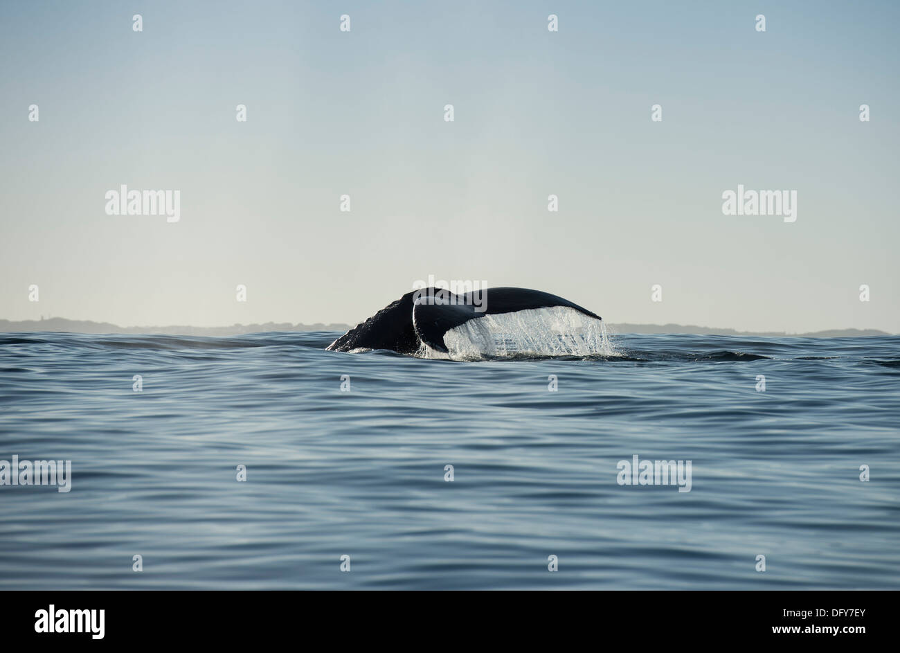 humpback whale tail, profile - Stock Image