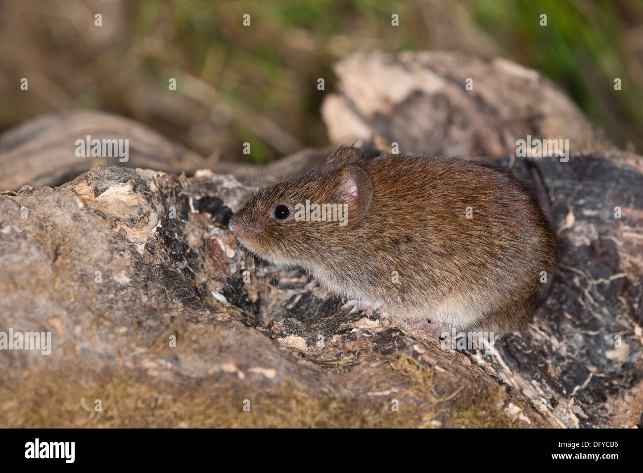 A Bank Vole looking for food - Stock Image