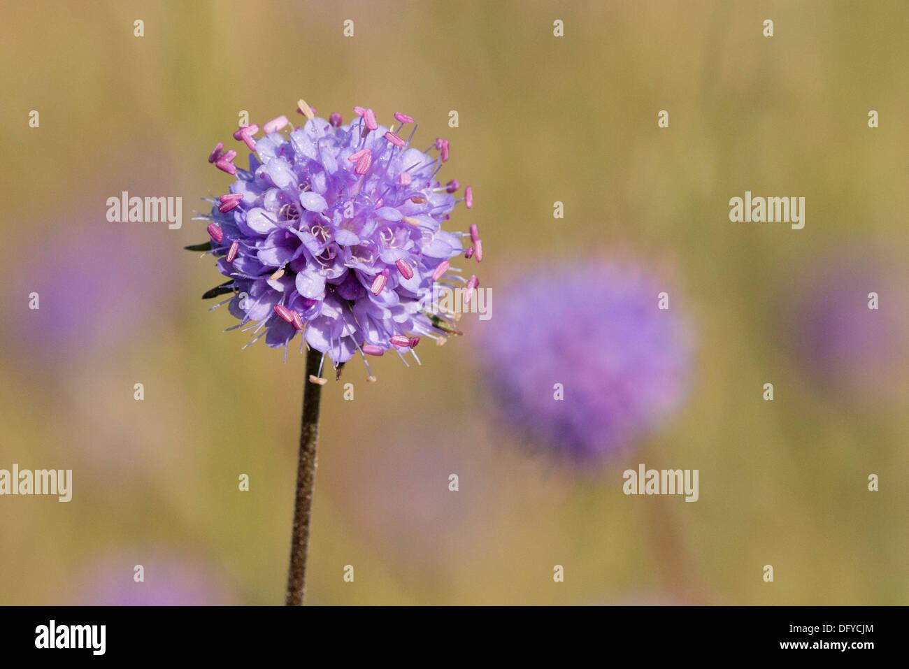A Devil's-bit Scabious flower - Stock Image