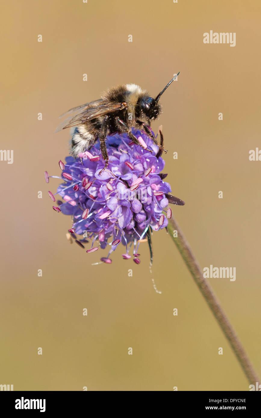 A bee feeding on Devil's-bit Scabious - Stock Image