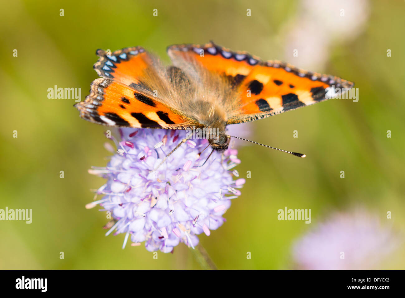A Small Tortoiseshell butterfly on Devil's-bit Scabious - Stock Image