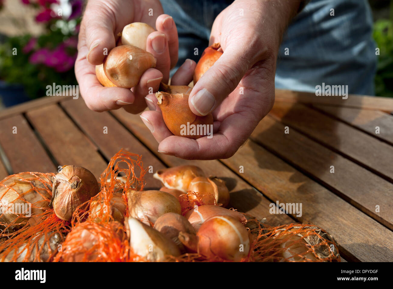 Man holding tulip bulbs England UK United Kingdom GB Great Britain - Stock Image