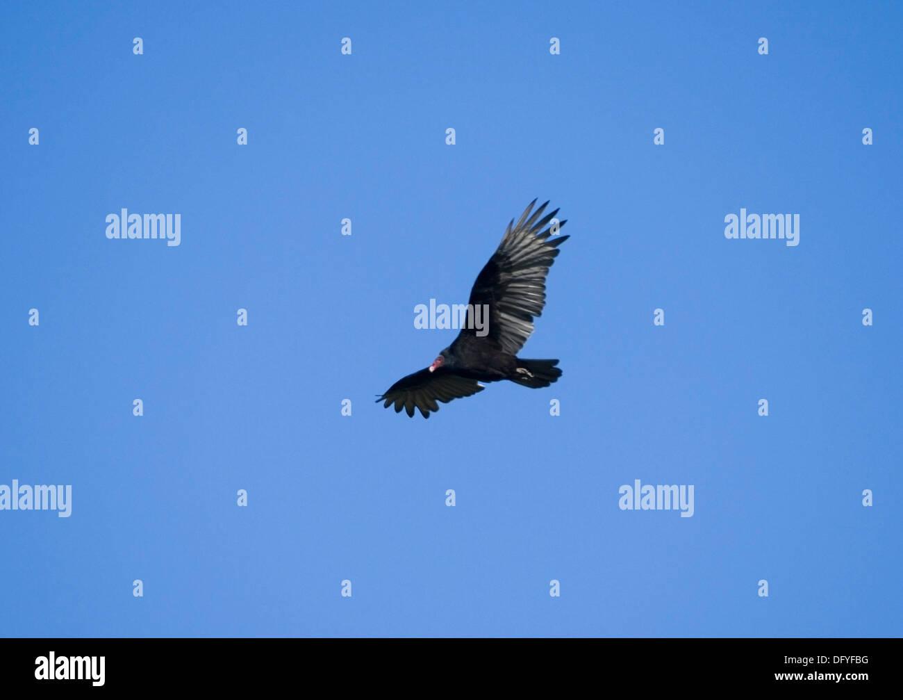 Turkey Vulture, Cathartes aura in flight - Stock Image