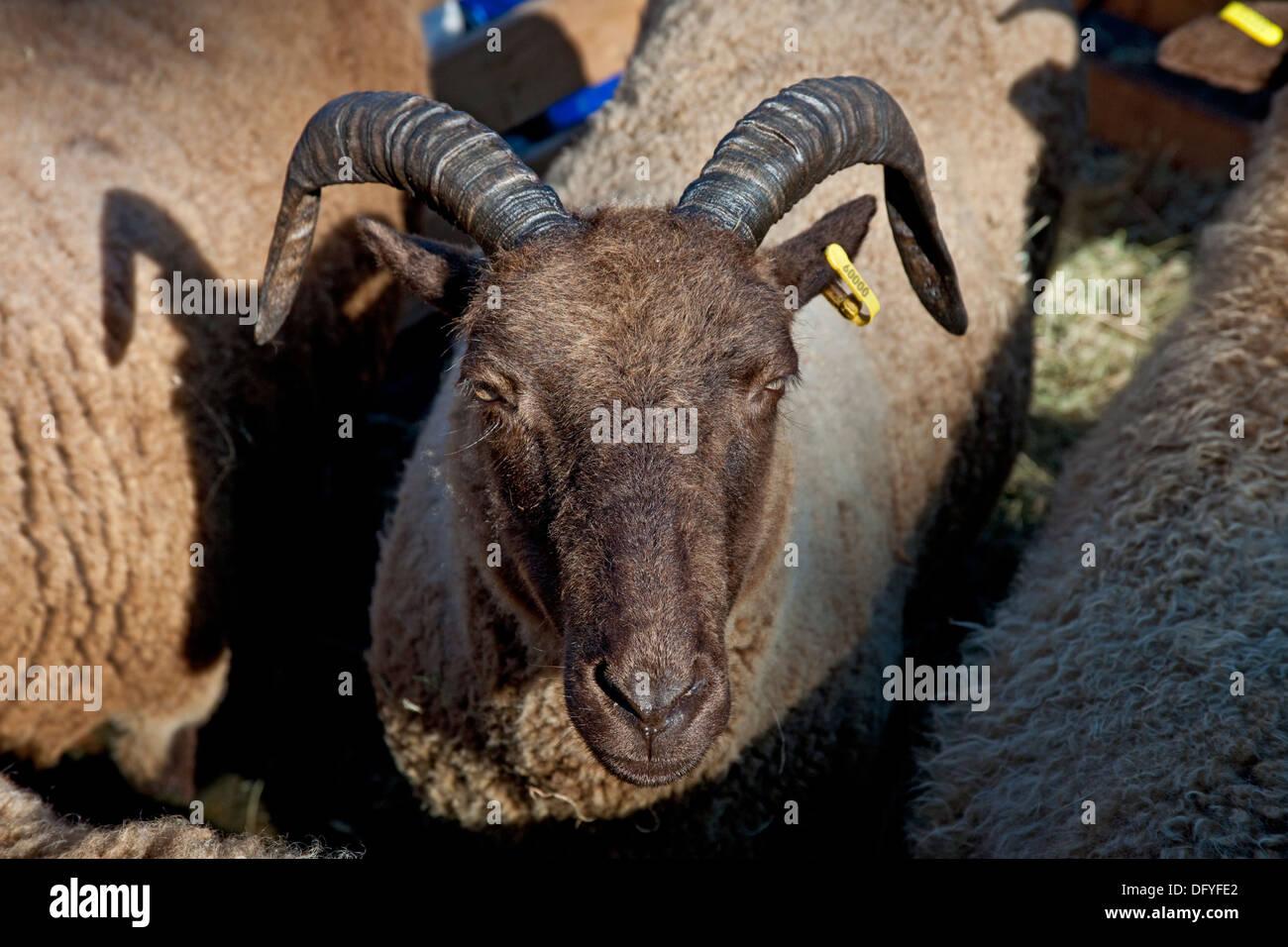 Close up of a Manx Loaghtan Sheep - Stock Image